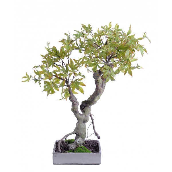 Bonsai Erable 50Cm – Végétal artificiel