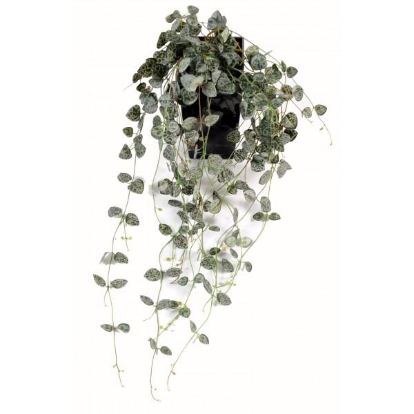 Plante retombante d 39 int rieur prix achat vente en ligne for Plante d interieur retombante