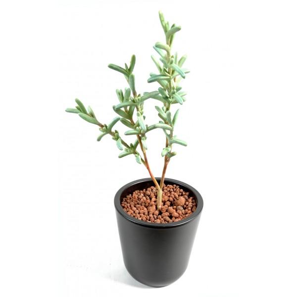 sansevieria cylindrica plante artificielle fleurs plantes artificielles. Black Bedroom Furniture Sets. Home Design Ideas