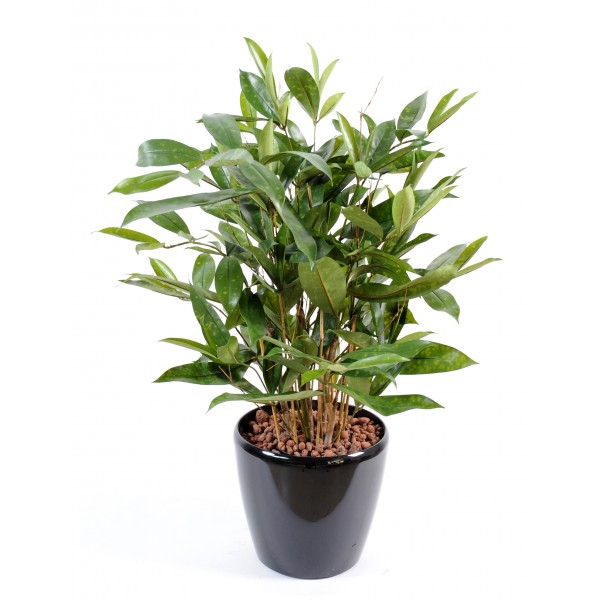 dracaena surculosa pot plante artificielle fleurs plantes artificielles. Black Bedroom Furniture Sets. Home Design Ideas