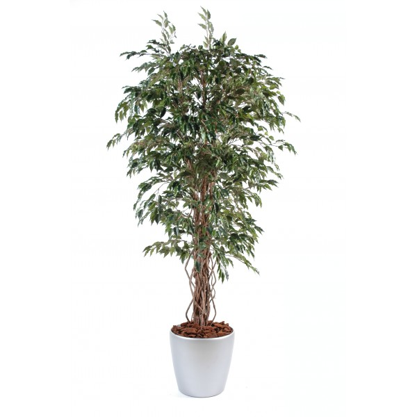 Ficus Lianes En Boll – Composition artificielle