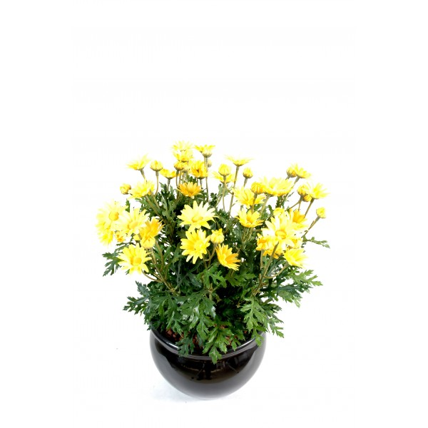 Marguerite Anthemis *120*30 – Plante artificielle