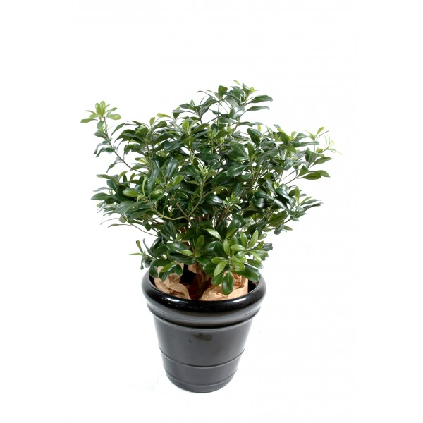 Pittosporum Buisson – Arbre artificiel