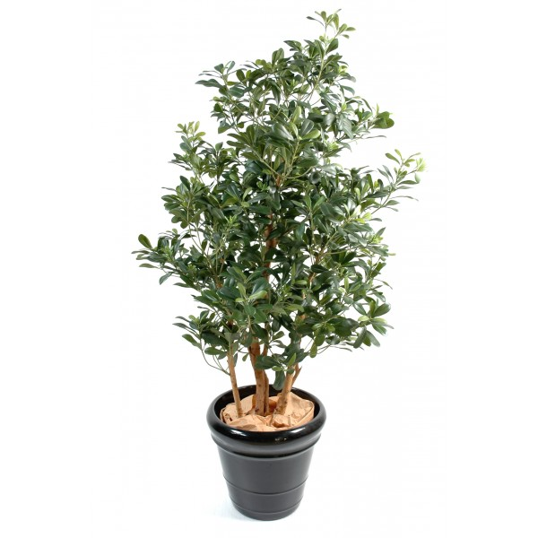 Pittosporum – Arbre artificiel