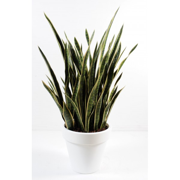 Sansevieria En Pot Pure Rond – Composition artificielle